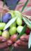 Speciale autunno raccolta olive